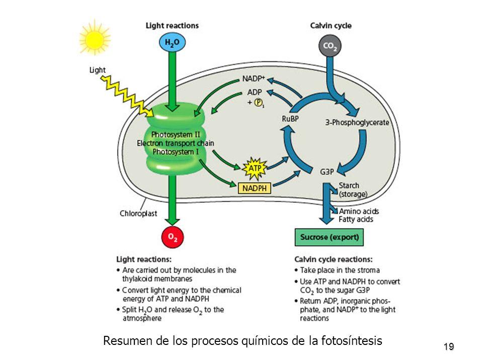 Resumen de los procesos químicos de la fotosíntesis