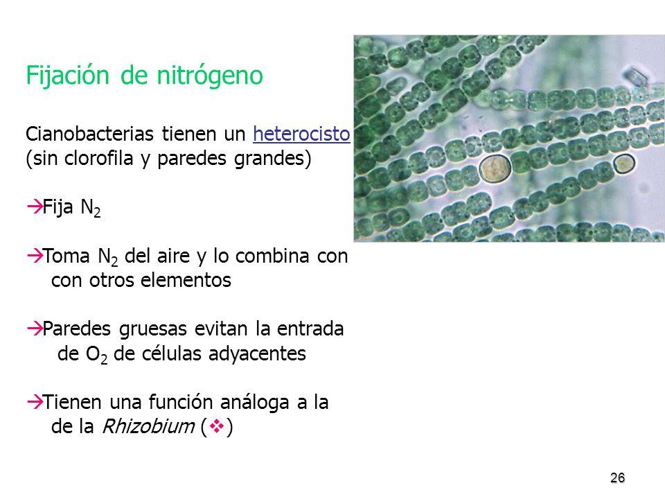 Fijación de nitrógeno Cianobacterias tienen un heterocisto
