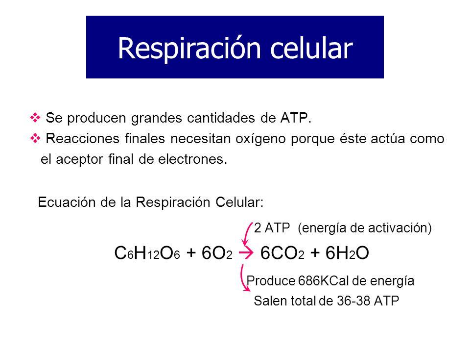 Respiración celular 2 ATP (energía de activación)