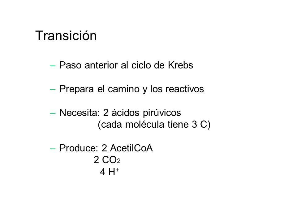 Transición Paso anterior al ciclo de Krebs