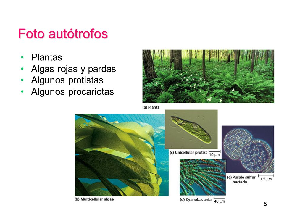Foto autótrofos Plantas Algas rojas y pardas Algunos protistas