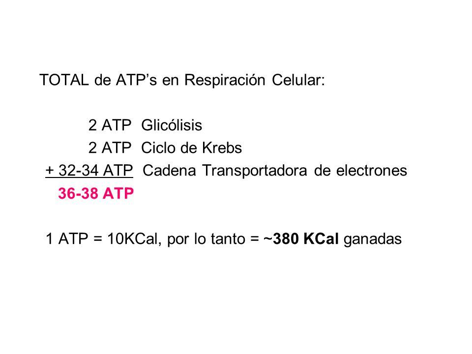 TOTAL de ATP's en Respiración Celular: