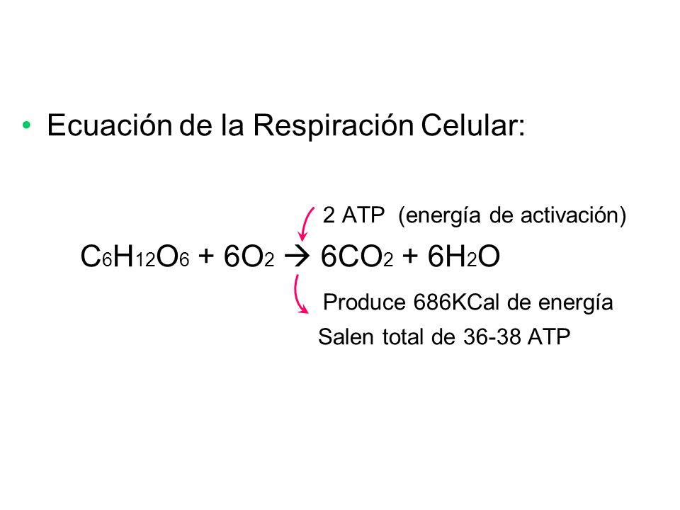 Ecuación de la Respiración Celular: 2 ATP (energía de activación)