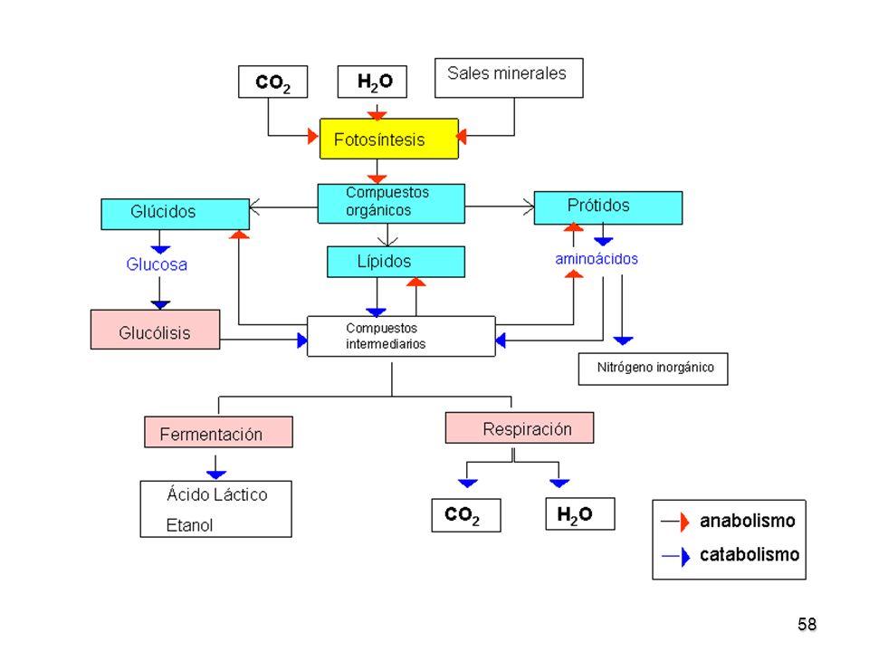 La glucosa necesaria la ingermimos como parte de otros alimentos