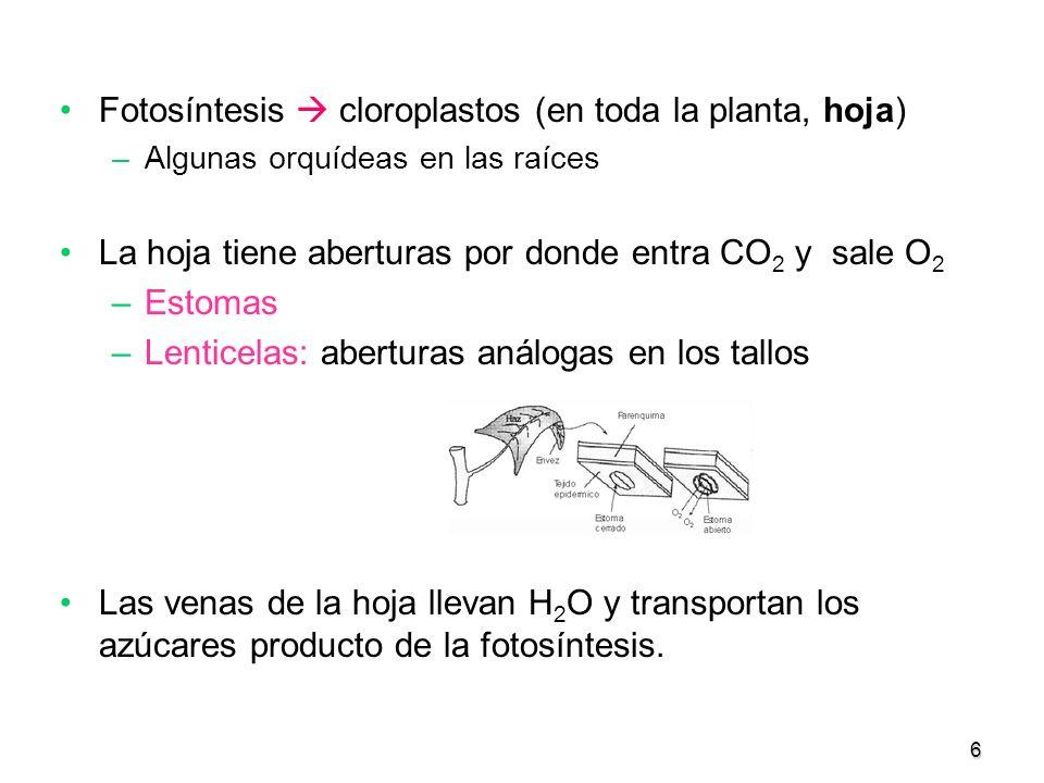 Fotosíntesis  cloroplastos (en toda la planta, hoja)