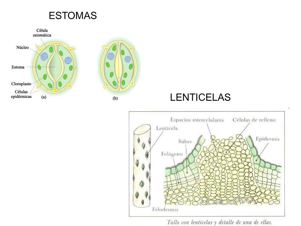 ESTOMAS LENTICELAS