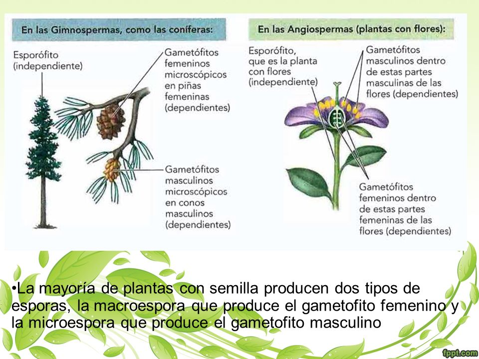 La mayoría de plantas con semilla producen dos tipos de esporas, la macroespora que produce el gametofito femenino y la microespora que produce el gametofito masculino