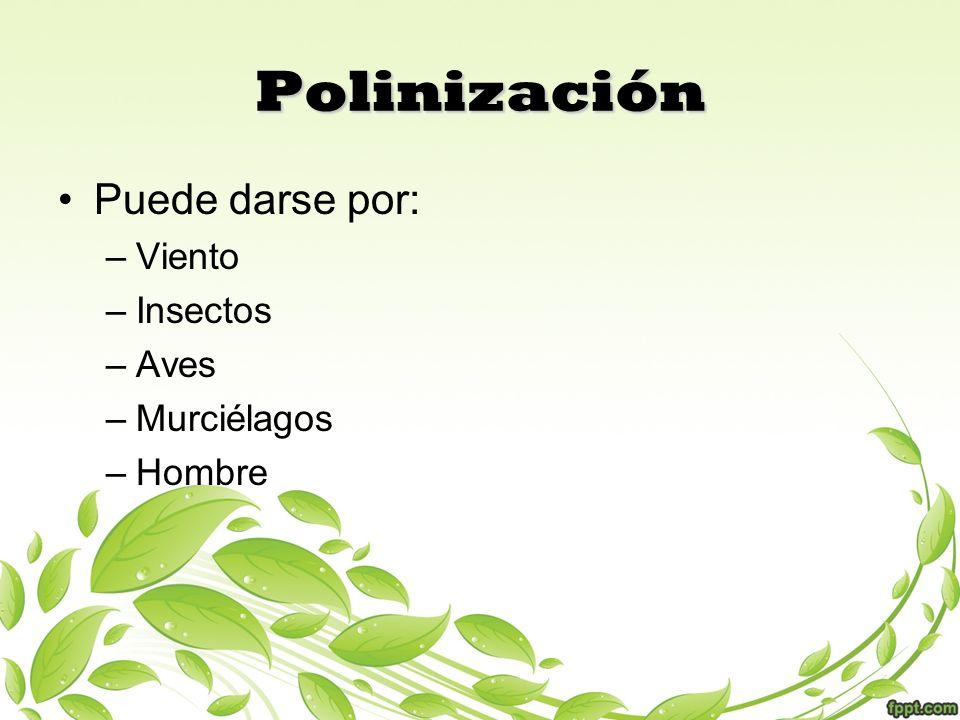 Polinización Puede darse por: Viento Insectos Aves Murciélagos Hombre
