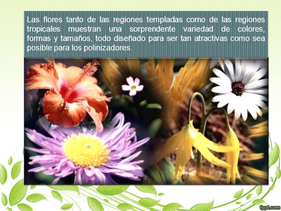 Las flores tanto de las regiones templadas como de las regiones tropicales muestran una sorprendente variedad de colores, formas y tamaños, todo diseñado para ser tan atractivas como sea posible para los polinizadores.