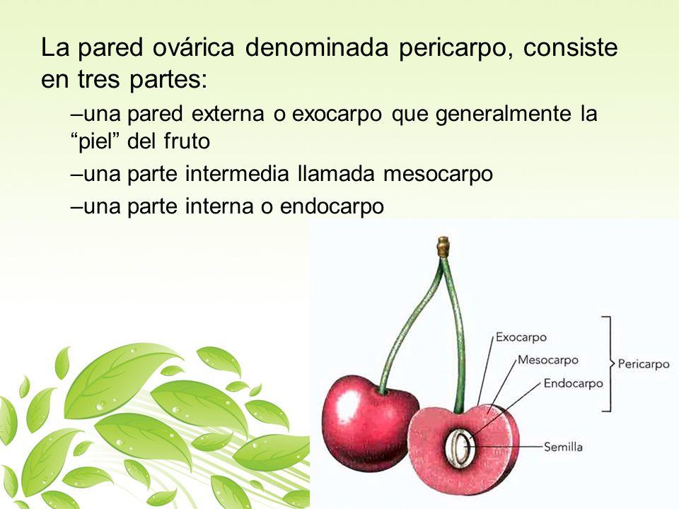 La pared ovárica denominada pericarpo, consiste en tres partes: