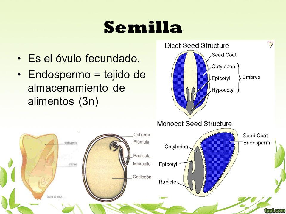 Semilla Es el óvulo fecundado.