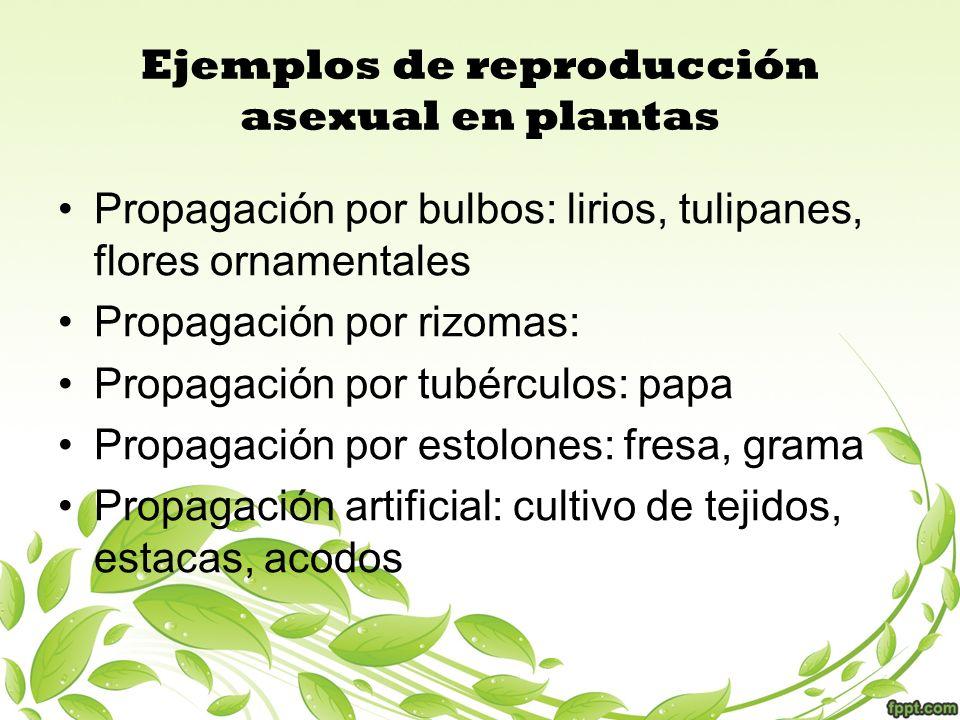 Ejemplos de reproducción asexual en plantas