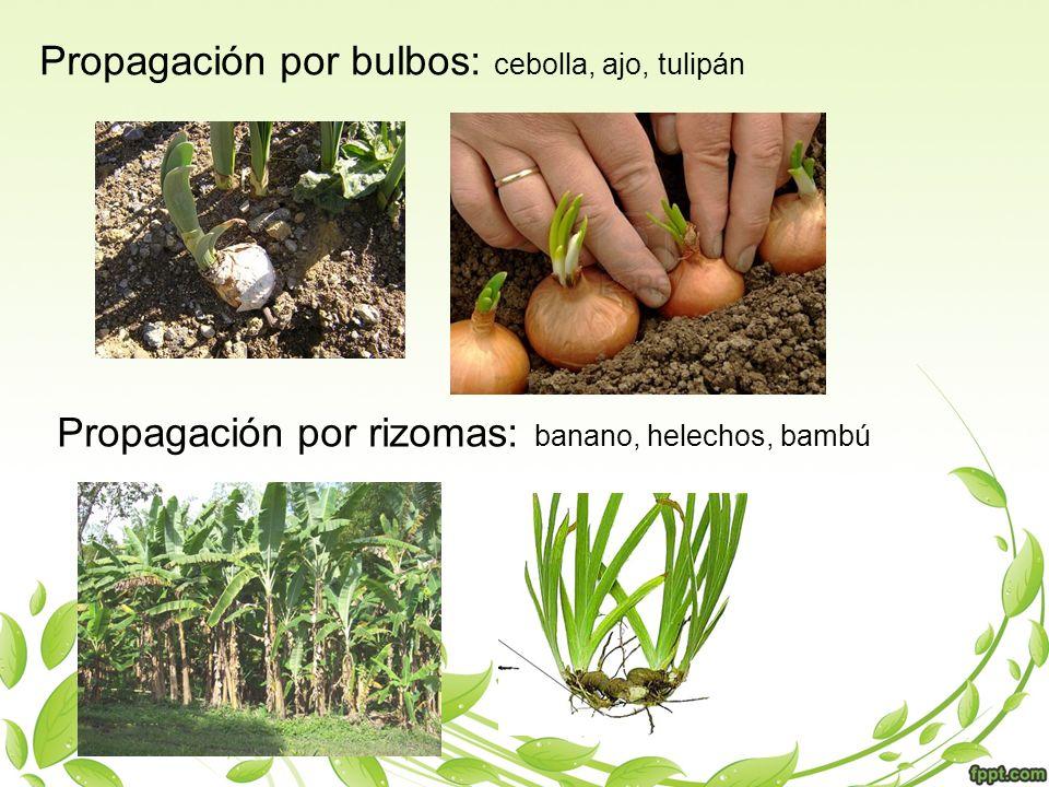 Propagación por bulbos: cebolla, ajo, tulipán