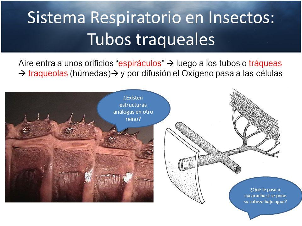 Sistema Respiratorio en Insectos: Tubos traqueales