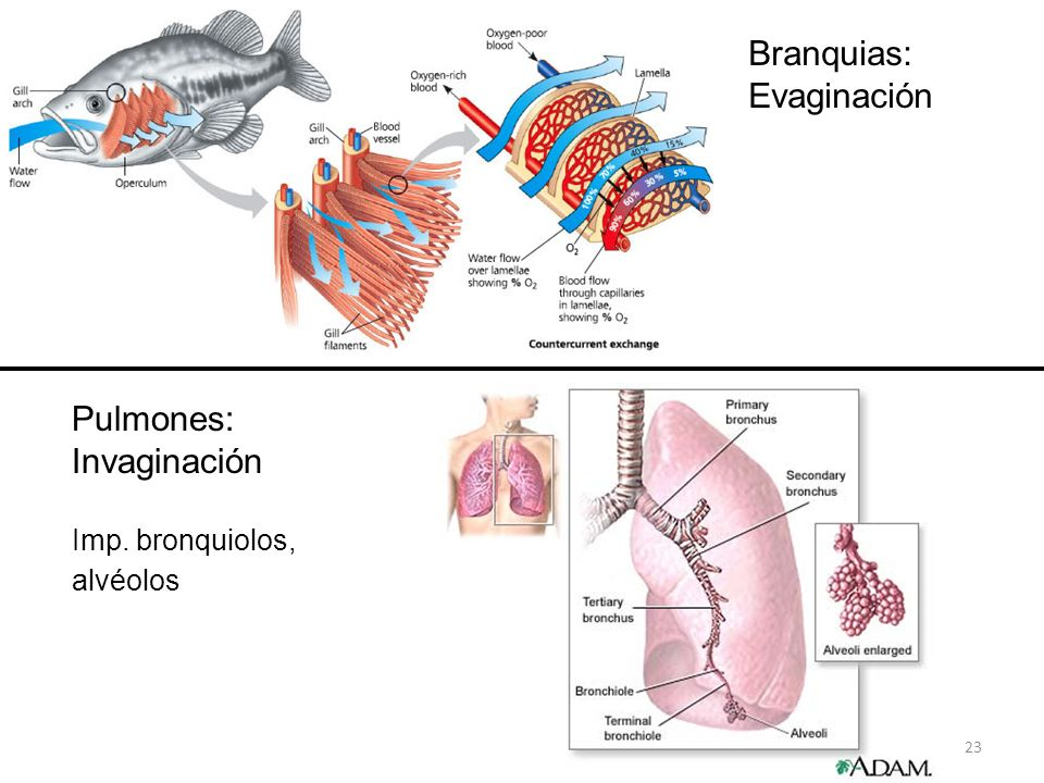Branquias: Evaginación Pulmones: Invaginación Imp. bronquiolos,