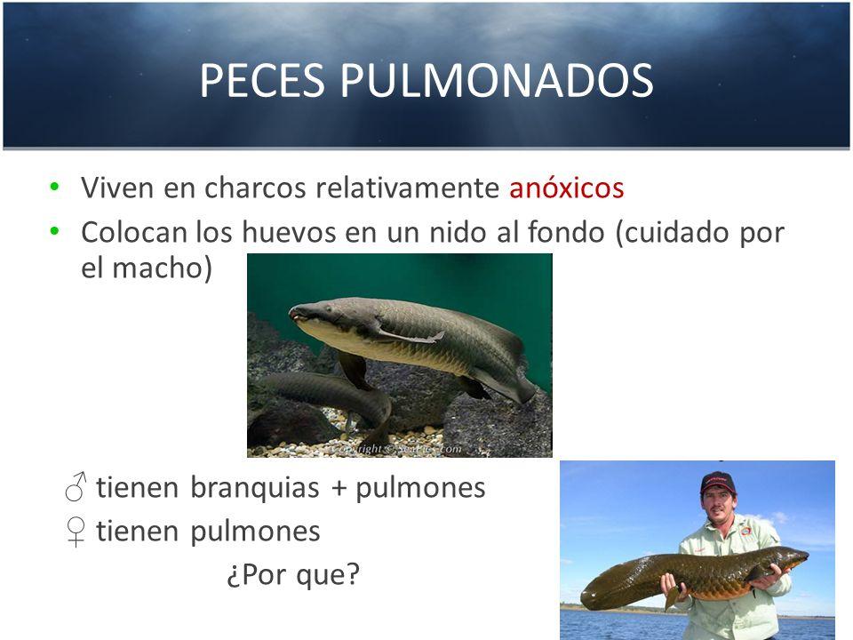 PECES PULMONADOS Viven en charcos relativamente anóxicos