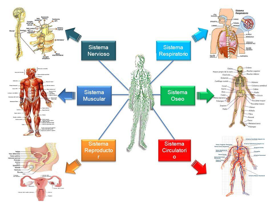 Sistema Nervioso Sistema Respiratorio. Sistema Muscular.
