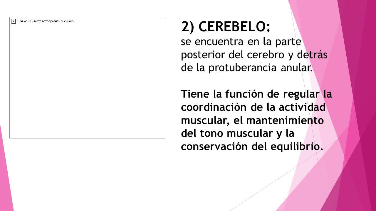 2) CEREBELO: se encuentra en la parte posterior del cerebro y detrás de la protuberancia anular.