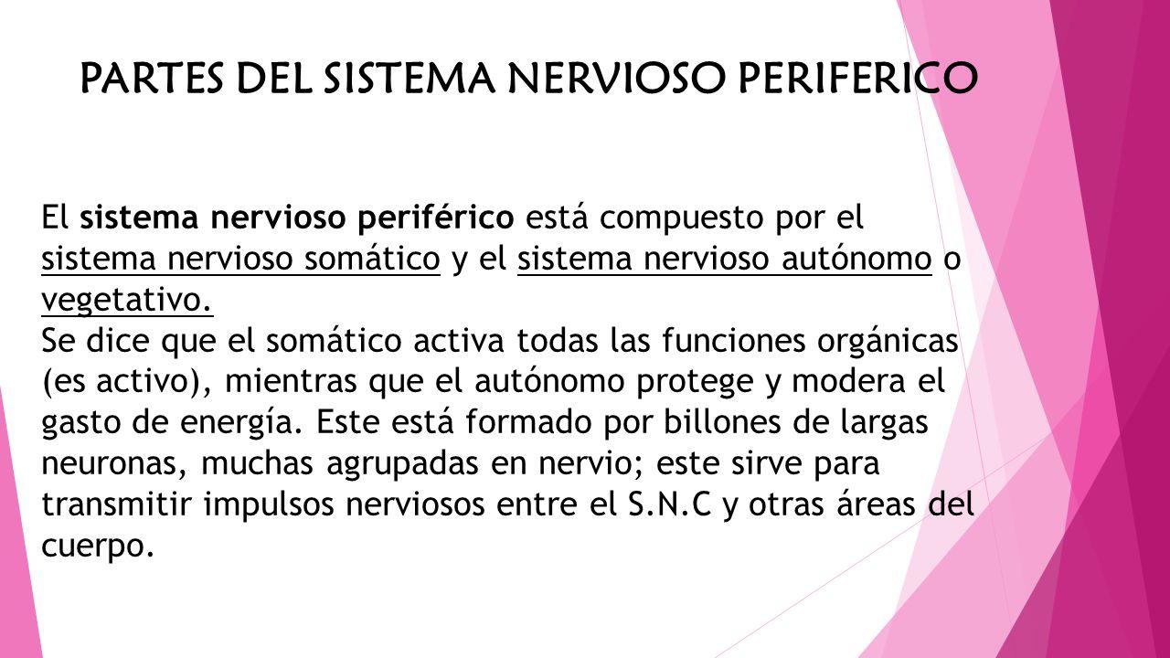 PARTES DEL SISTEMA NERVIOSO PERIFERICO