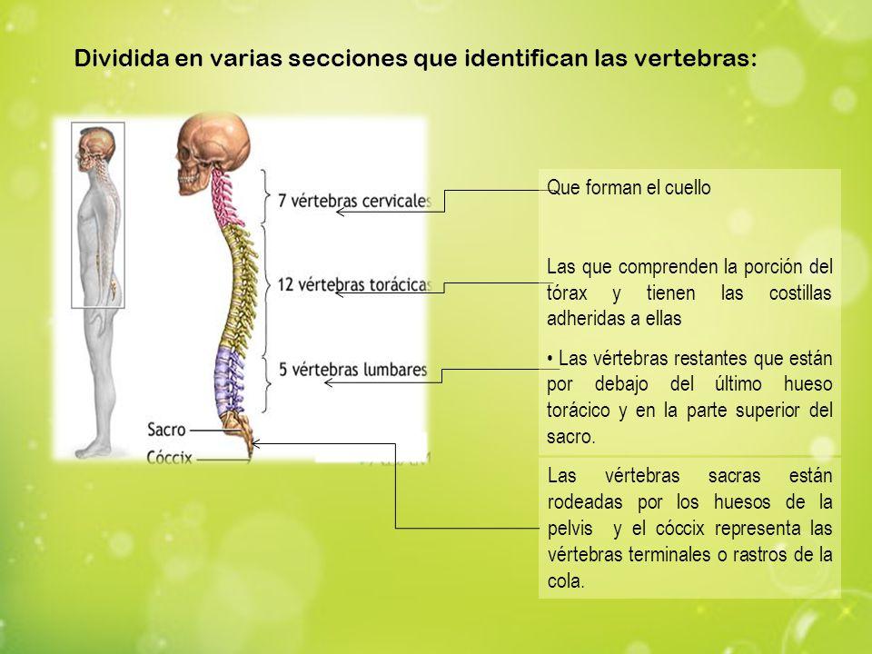 Dividida en varias secciones que identifican las vertebras: