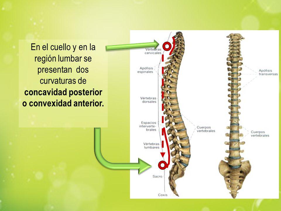 En el cuello y en la región lumbar se presentan dos curvaturas de concavidad posterior o convexidad anterior.