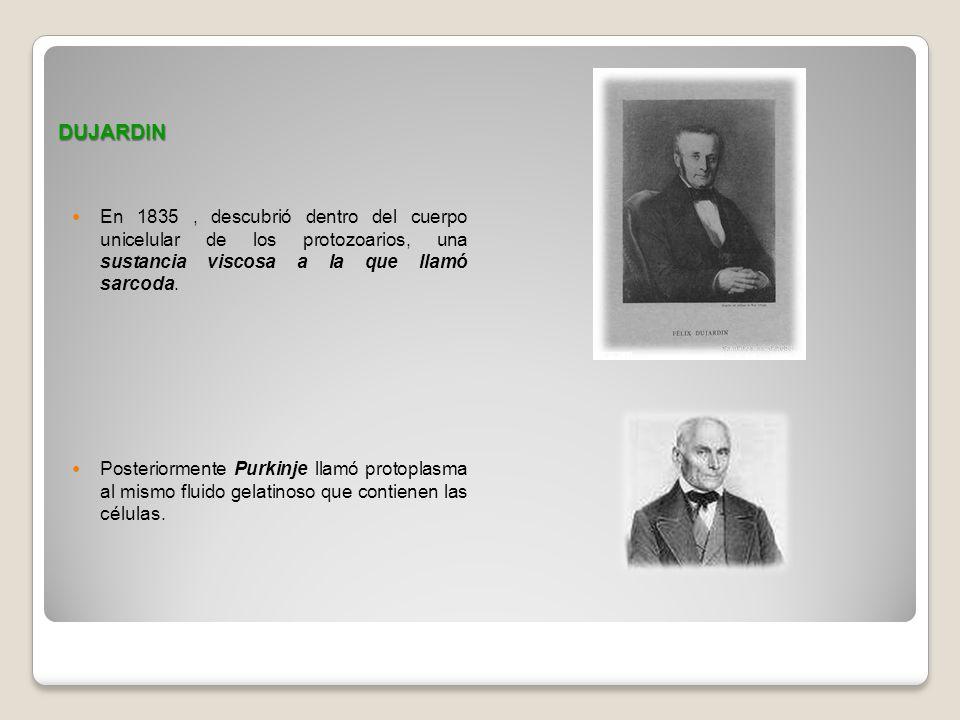 DUJARDIN En 1835 , descubrió dentro del cuerpo unicelular de los protozoarios, una sustancia viscosa a la que llamó sarcoda.