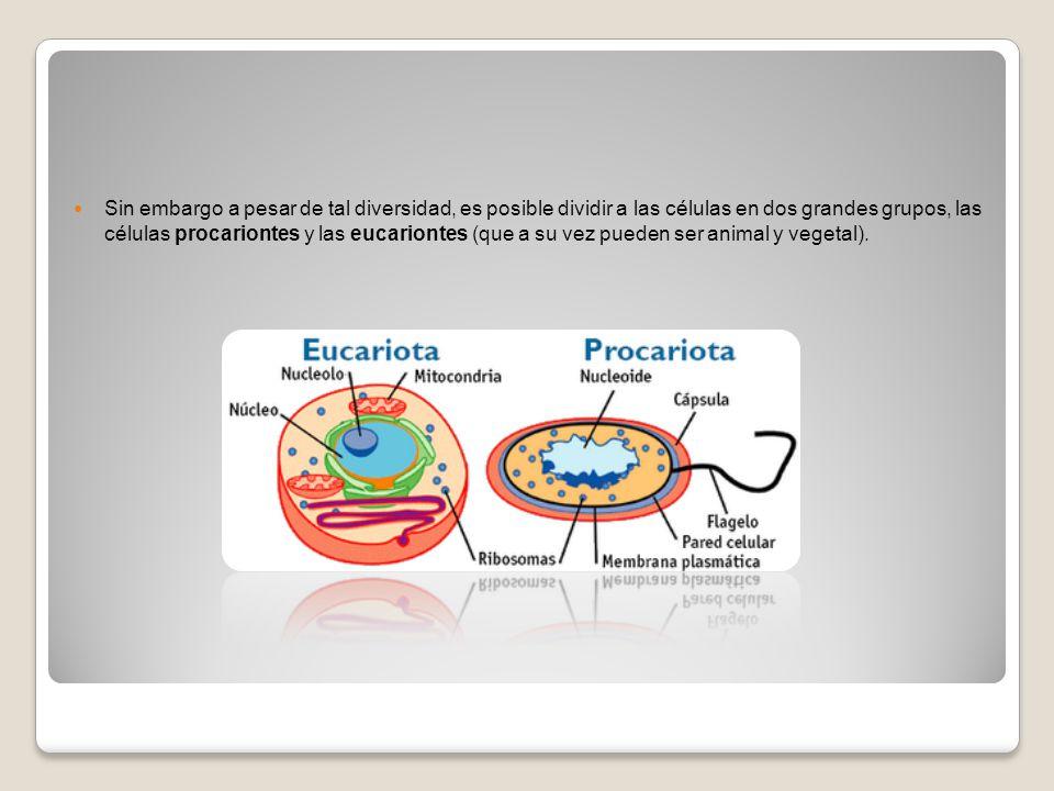 Sin embargo a pesar de tal diversidad, es posible dividir a las células en dos grandes grupos, las células procariontes y las eucariontes (que a su vez pueden ser animal y vegetal).