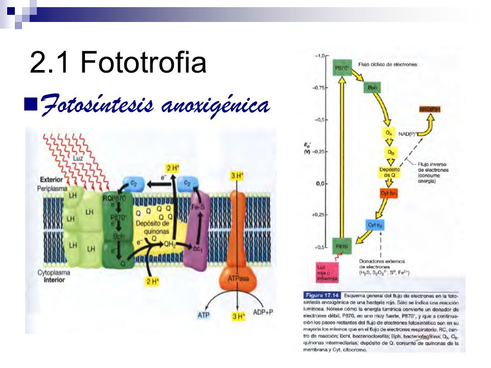2.1 Fototrofia Fotosíntesis anoxigénica