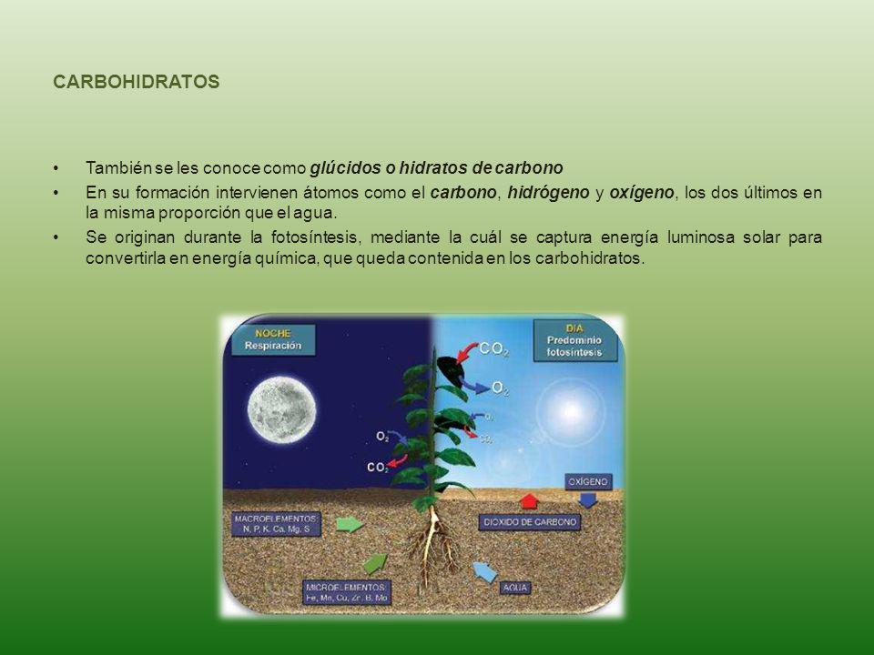 CARBOHIDRATOS También se les conoce como glúcidos o hidratos de carbono.