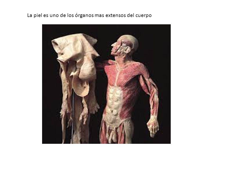 La piel es uno de los órganos mas extensos del cuerpo