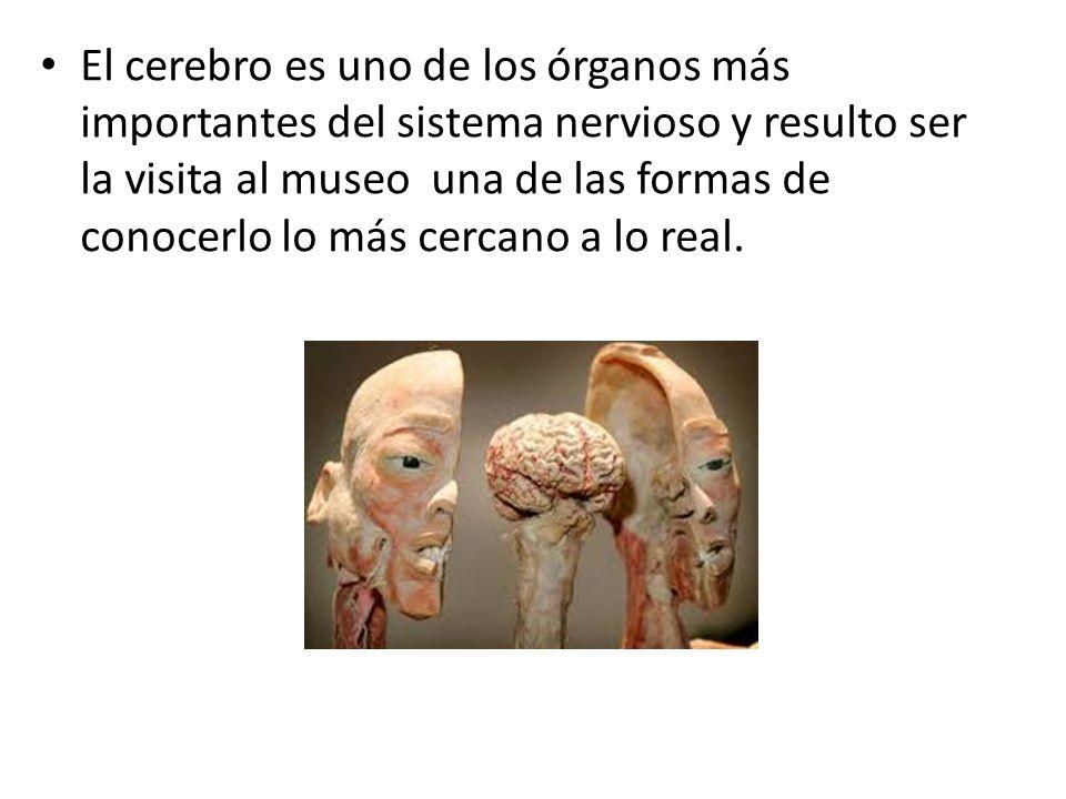 El cerebro es uno de los órganos más importantes del sistema nervioso y resulto ser la visita al museo una de las formas de conocerlo lo más cercano a lo real.