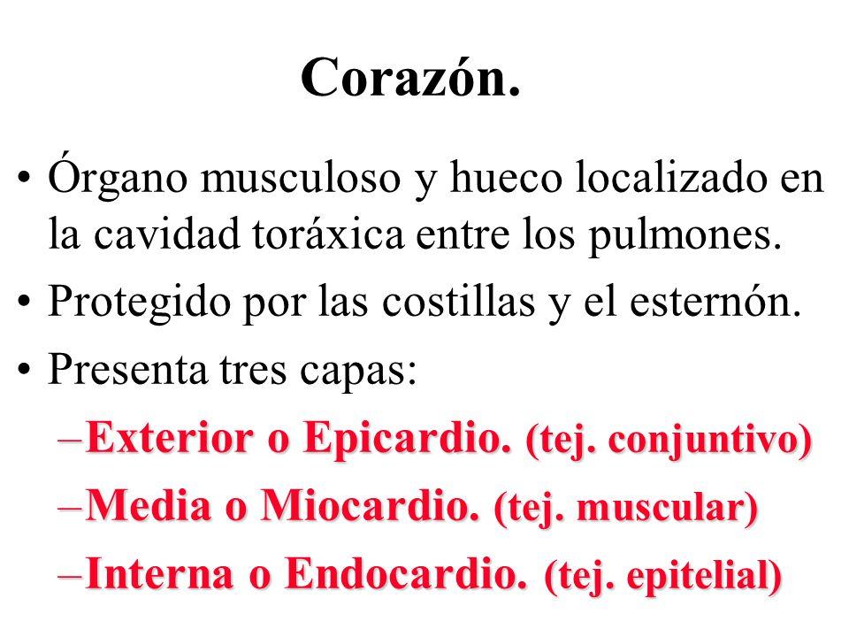 Corazón. Órgano musculoso y hueco localizado en la cavidad toráxica entre los pulmones. Protegido por las costillas y el esternón.