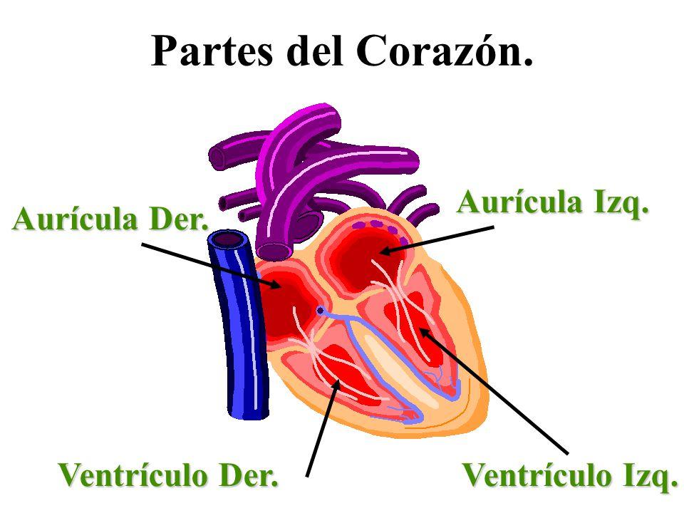 Partes del Corazón. Aurícula Izq. Aurícula Der. Ventrículo Der.