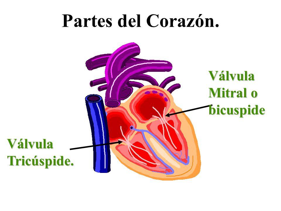 Partes del Corazón. Válvula Mitral o bicuspide Válvula Tricúspide.