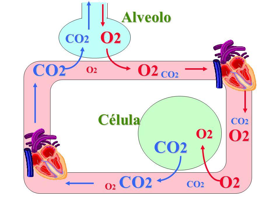 Alveolo O2 CO2 CO2 O2 O2 CO2 Célula CO2 O2 O2 CO2 CO2 O2 CO2 O2