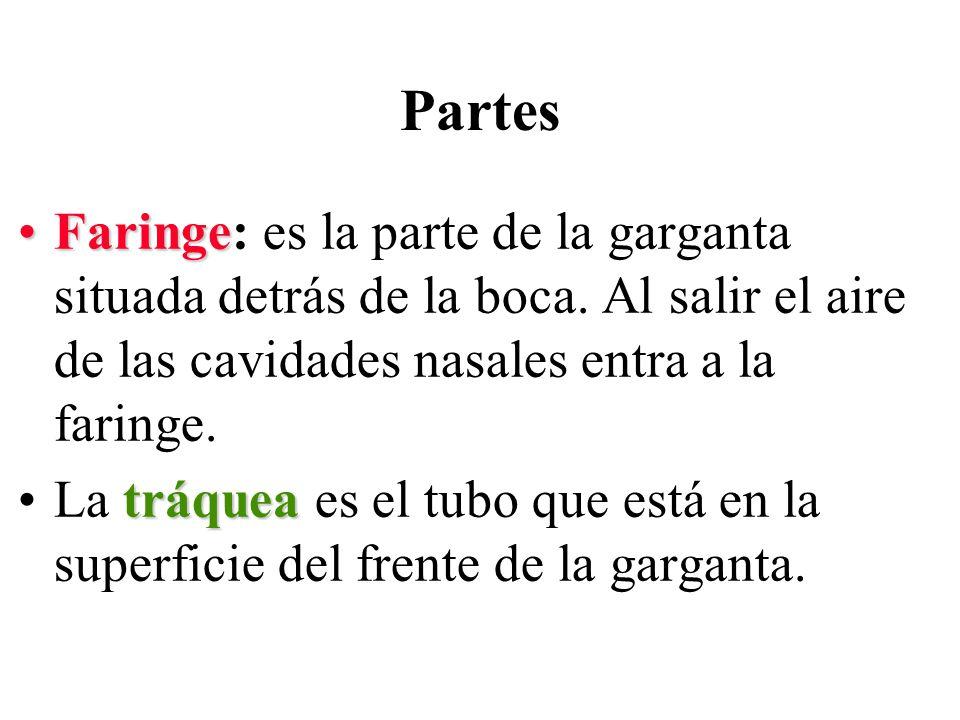 Partes Faringe: es la parte de la garganta situada detrás de la boca. Al salir el aire de las cavidades nasales entra a la faringe.
