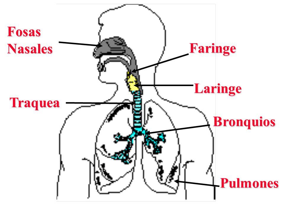 Fosas Nasales Faringe Laringe Traquea Bronquios Pulmones