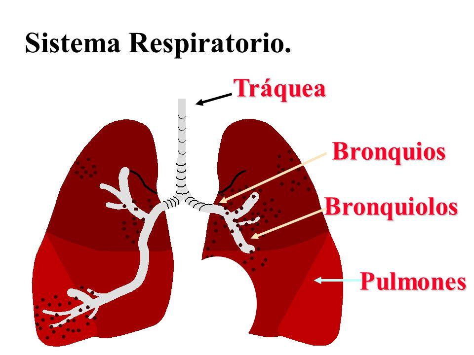 Sistema Respiratorio. Tráquea Bronquios Bronquiolos Pulmones