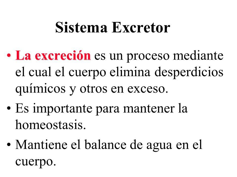 Sistema Excretor La excreción es un proceso mediante el cual el cuerpo elimina desperdicios químicos y otros en exceso.