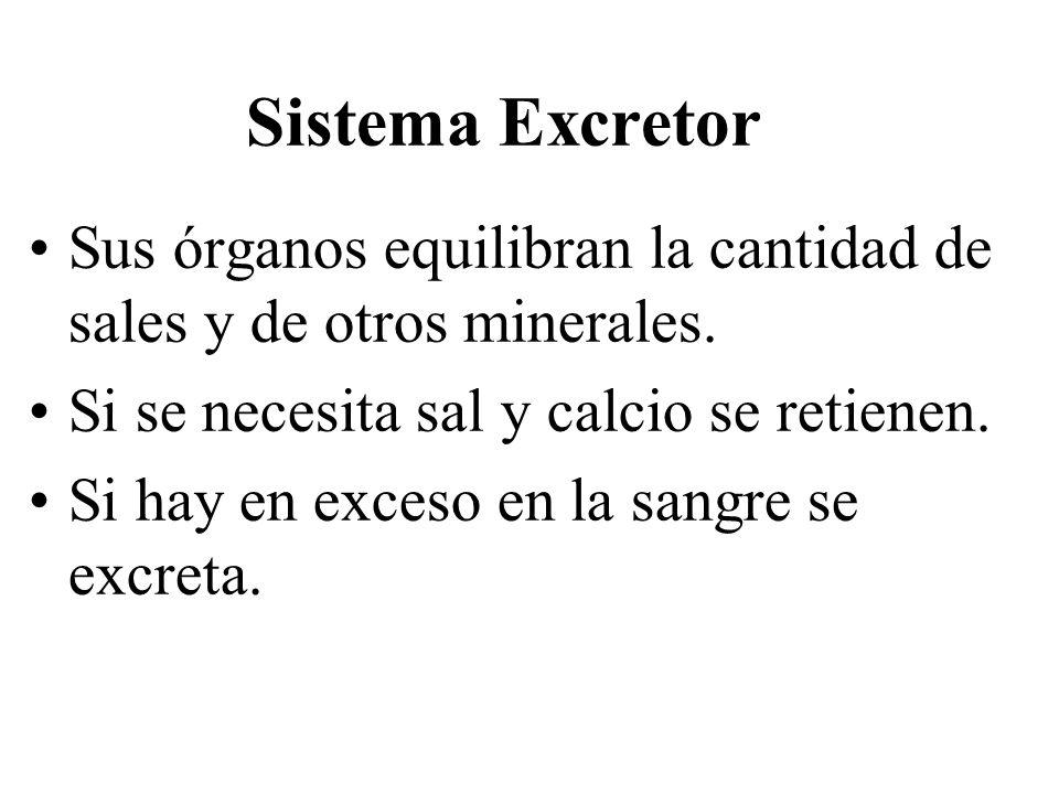 Sistema Excretor Sus órganos equilibran la cantidad de sales y de otros minerales. Si se necesita sal y calcio se retienen.