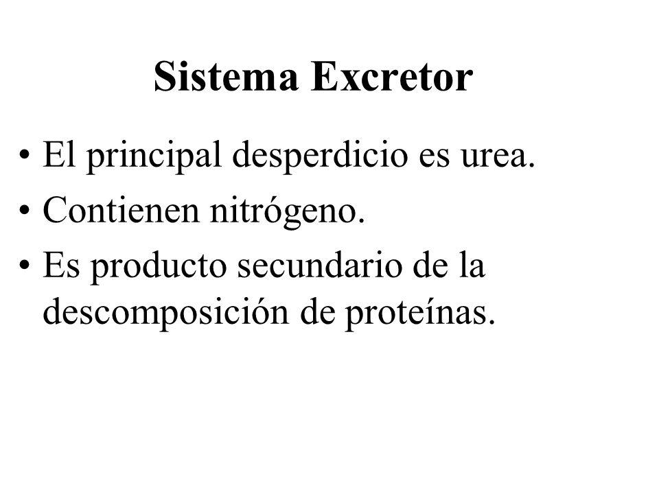 Sistema Excretor El principal desperdicio es urea.
