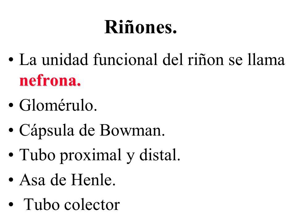 Riñones. La unidad funcional del riñon se llama nefrona. Glomérulo.