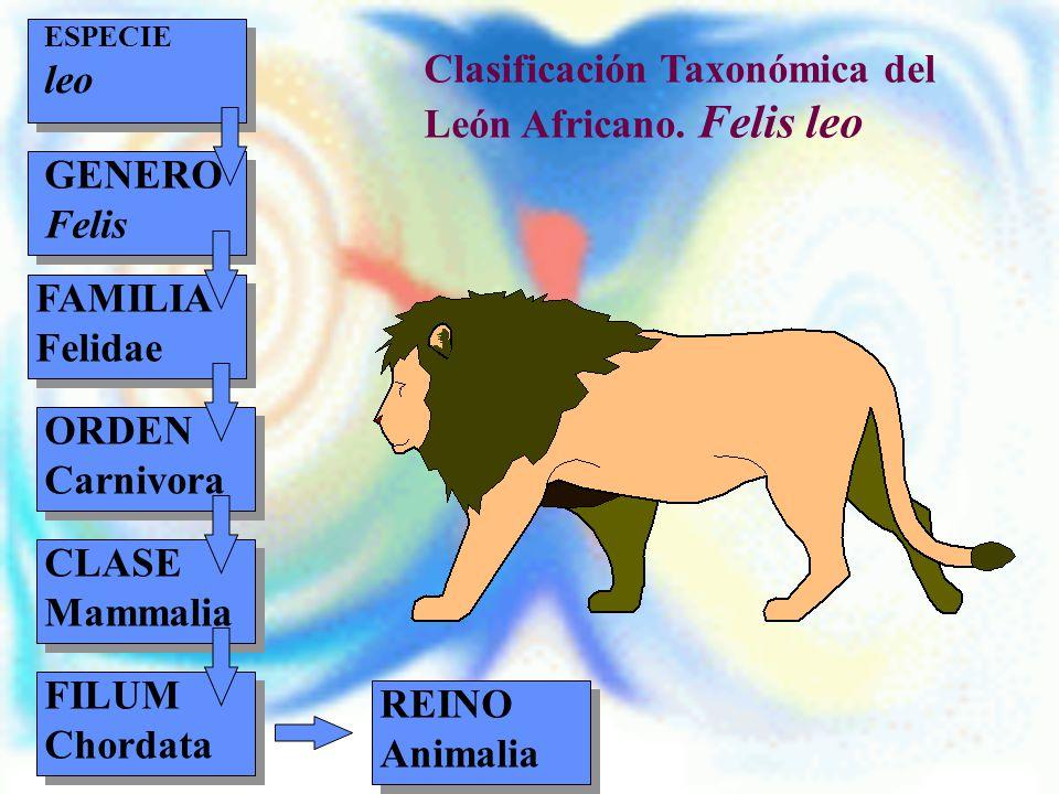 Clasificación Taxonómica del León Africano. Felis leo