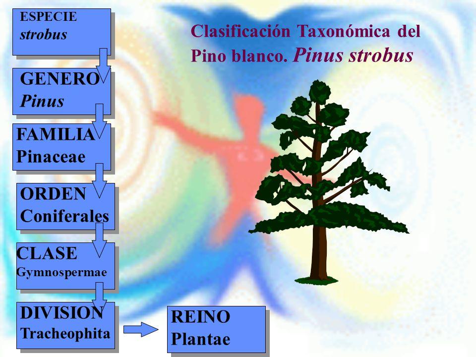 Clasificación Taxonómica del Pino blanco. Pinus strobus