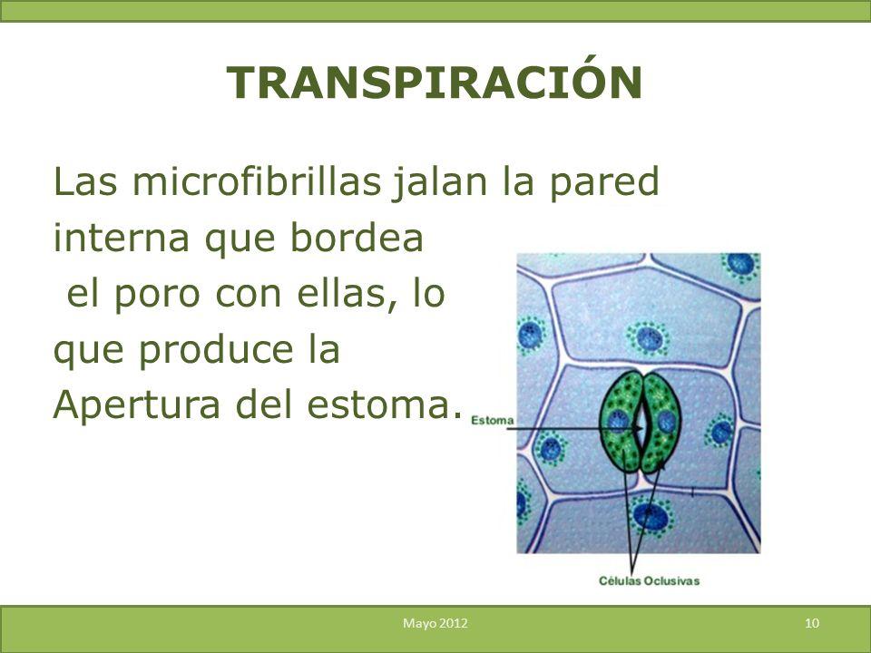 TRANSPIRACIÓN Las microfibrillas jalan la pared interna que bordea el poro con ellas, lo que produce la Apertura del estoma.