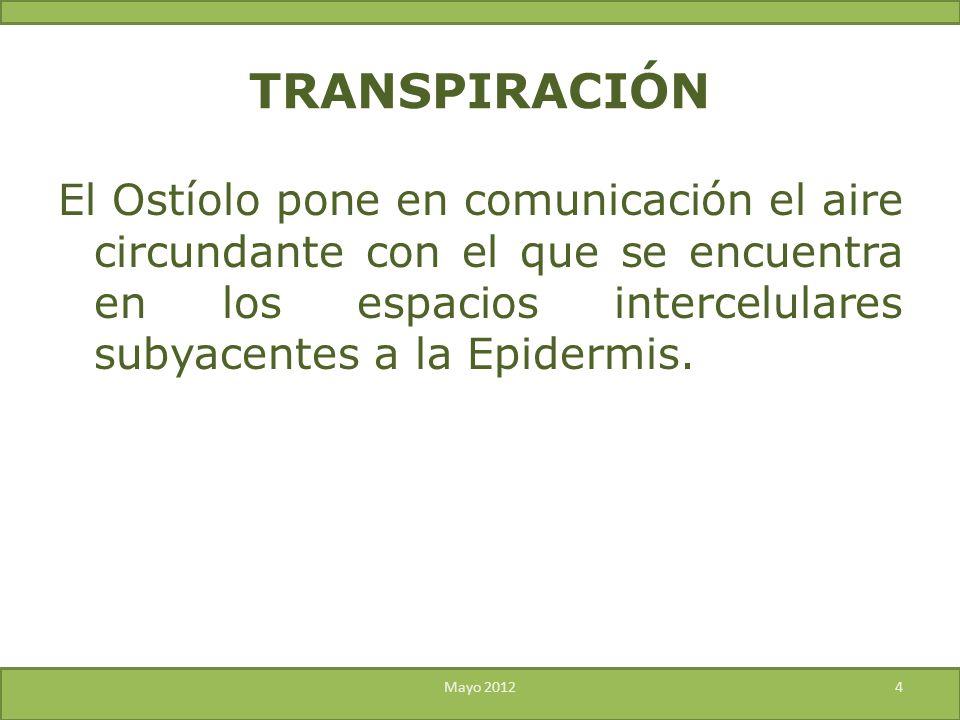 TRANSPIRACIÓN El Ostíolo pone en comunicación el aire circundante con el que se encuentra en los espacios intercelulares subyacentes a la Epidermis.