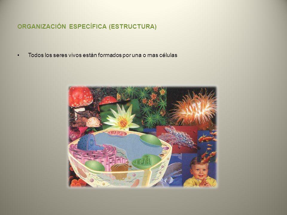 ORGANIZACIÓN ESPECÍFICA (ESTRUCTURA)