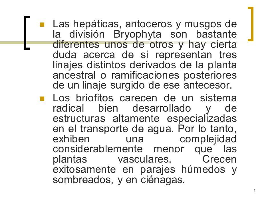 Las hepáticas, antoceros y musgos de la división Bryophyta son bastante diferentes unos de otros y hay cierta duda acerca de si representan tres linajes distintos derivados de la planta ancestral o ramificaciones posteriores de un linaje surgido de ese antecesor.