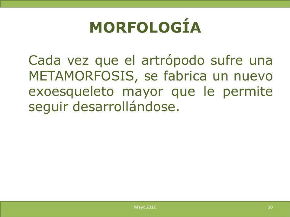 MORFOLOGÍA Cada vez que el artrópodo sufre una METAMORFOSIS, se fabrica un nuevo exoesqueleto mayor que le permite seguir desarrollándose.