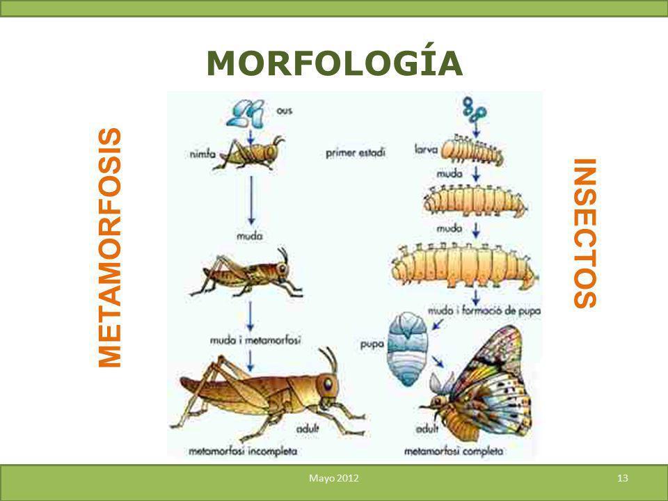 MORFOLOGÍA INSECTOS METAMORFOSIS Mayo 2012